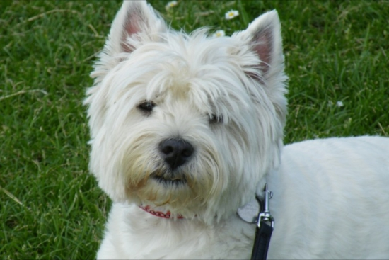 Beautiful you can see why acute;Westiesacute; won Crufts this year with such adorable faces